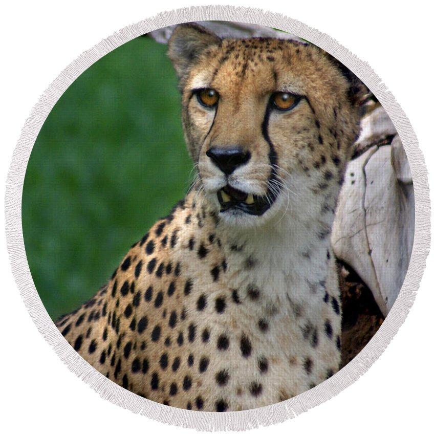 Cheeta Round Beach Towel featuring the photograph Cheetah by Heather Coen