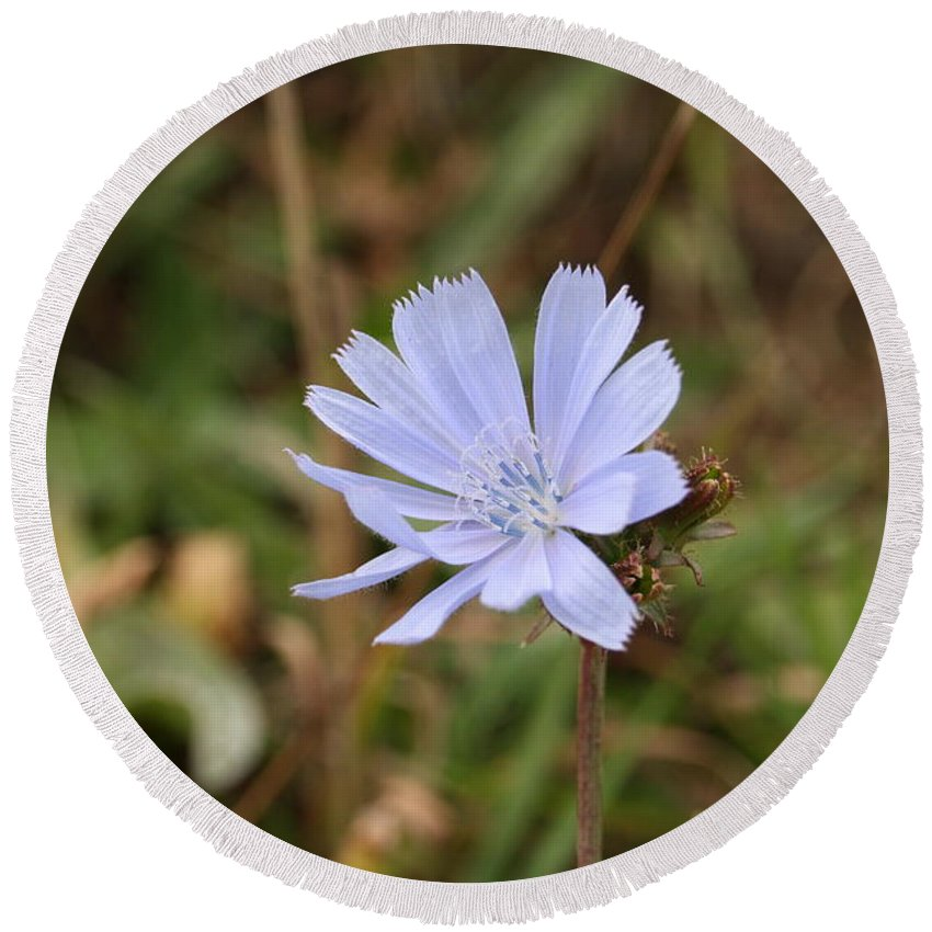 Chicory Round Beach Towel featuring the photograph Chicory Blue by Stacey Scott
