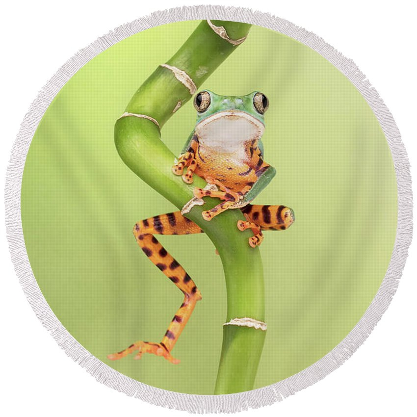Small Round Beach Towel featuring the photograph Chilling Tiger Leg Monkey Tree Frog by Linda D Lester