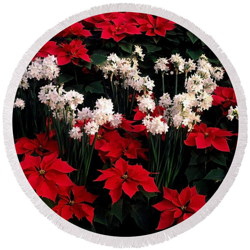 Red Poinsettias Round Beach Towel featuring the photograph Christmas Flowers by Sally Weigand