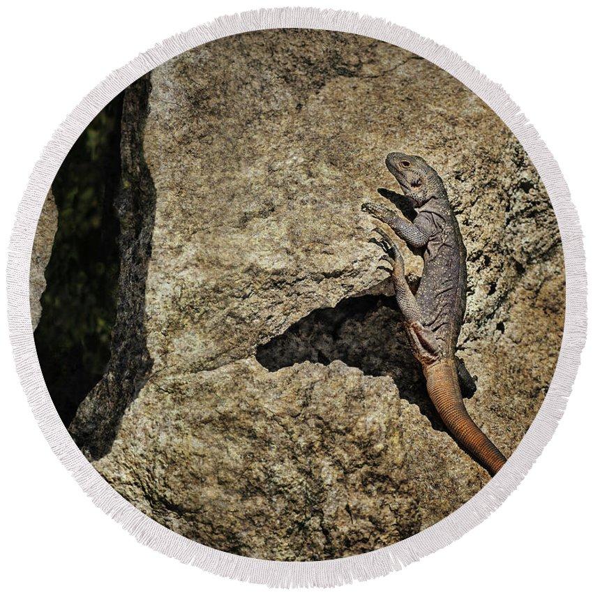 Lizard Round Beach Towel featuring the photograph Chuckwalla - Crevice by Nikolyn McDonald