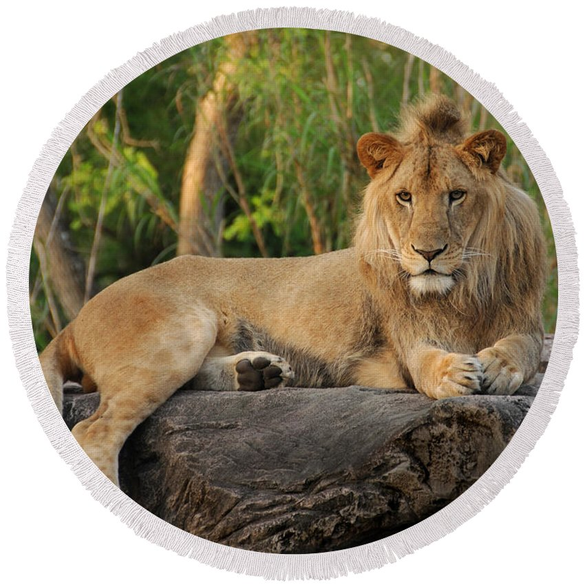 Lion Round Beach Towel featuring the photograph Classic Young Male by Steven Sparks
