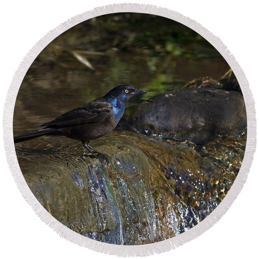 Common Grackle Round Beach Towel featuring the photograph Clean Grackle.. by Nina Stavlund