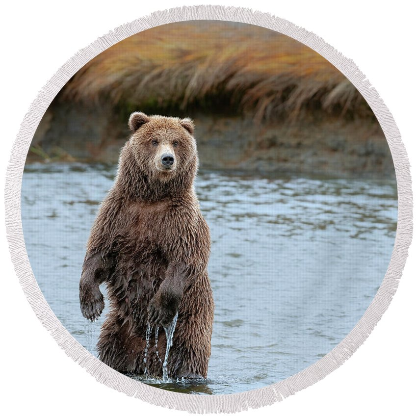 Wild Round Beach Towel featuring the photograph Coastal Brown Bears On Salmon Watch by Gary Langley