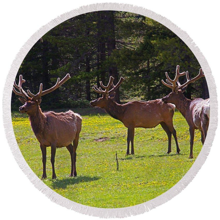 Colorado Round Beach Towel featuring the photograph Colorado Elk by Rich Walter