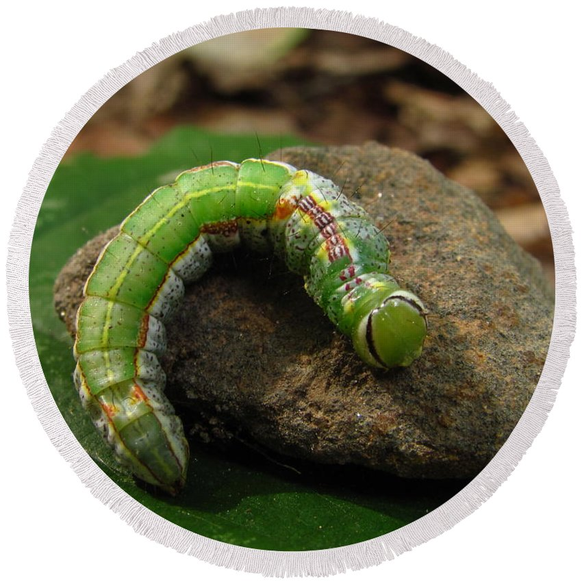Colorful Caterpillar Images Colorful Caterpillar Prints Unidentified Caterpillar Images Unidentified Caterpillar Prints Forest Ecology Entomology Biodiversity Nature Oldgrowth Forest Preservation Beech Trees Round Beach Towel featuring the photograph Colorful Caterpillar by Joshua Bales