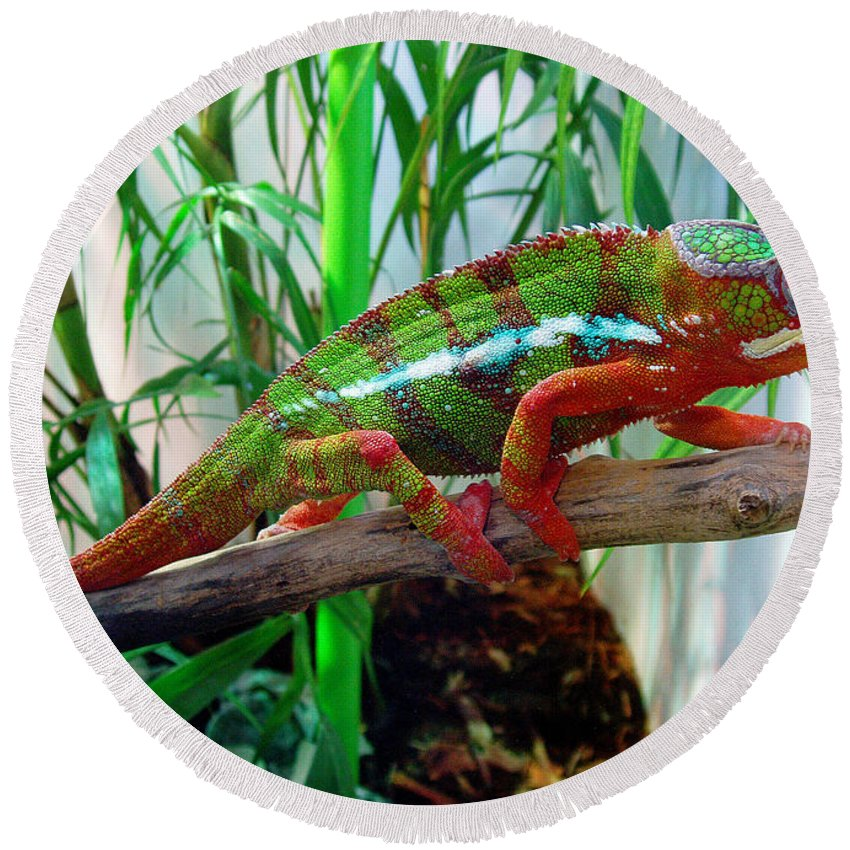 Chameleon Round Beach Towel featuring the photograph Colorful Chameleon by Nancy Mueller