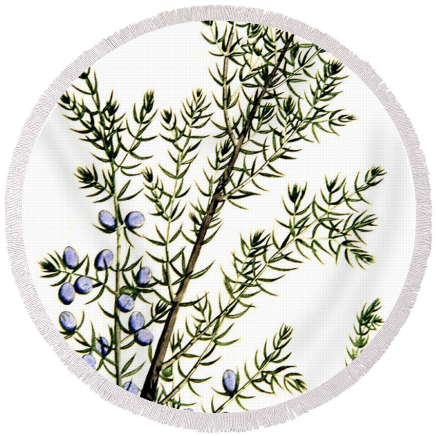 Science Round Beach Towel featuring the photograph Common Juniper Alchemy Plant by Science Source