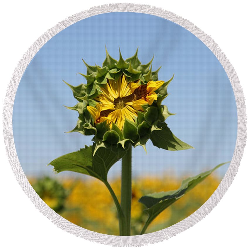 Sunflowers Round Beach Towel featuring the photograph Competition by Amanda Barcon