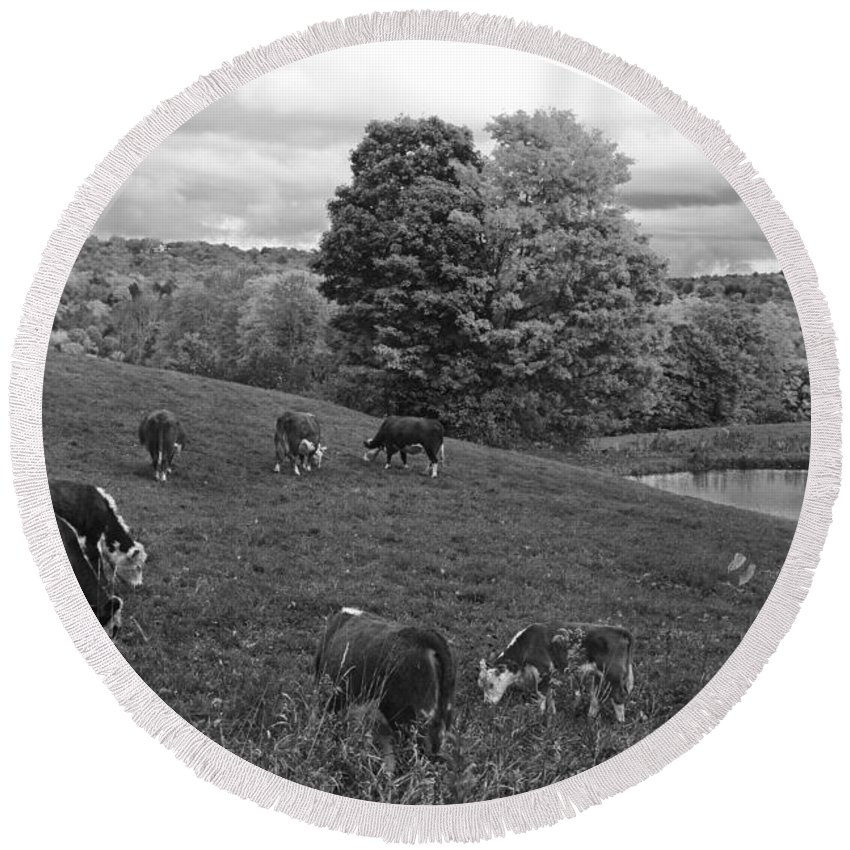 Jenne Round Beach Towel featuring the photograph Congregating Cows. Jenne Farm Cow Reading Vermont Black And White by Toby McGuire