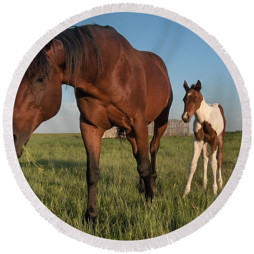 Horse Colt Baby Animals Herd Filly Ranch Farm Life Pasture Round Beach Towel featuring the photograph Contentment by Andrea Lawrence