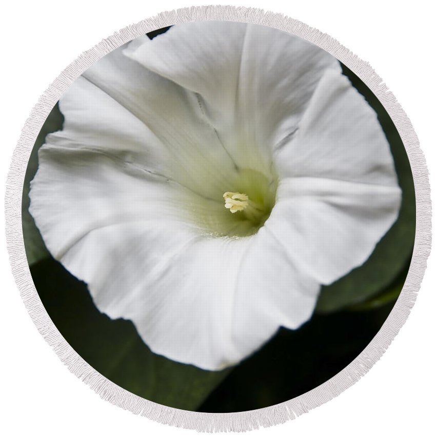 Flowers Round Beach Towel featuring the photograph Convolvulus by Svetlana Sewell