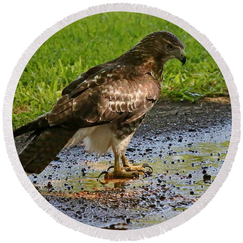 Hawk Round Beach Towel featuring the photograph Cooling Off by Rebecca Morgan
