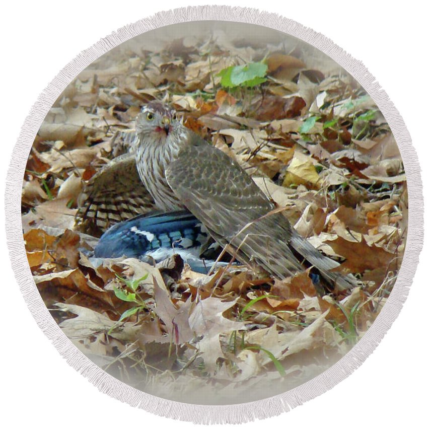Hawk Round Beach Towel featuring the photograph Cooper's Hawk - Accipiter Cooperii - With Blue Jay by Mother Nature
