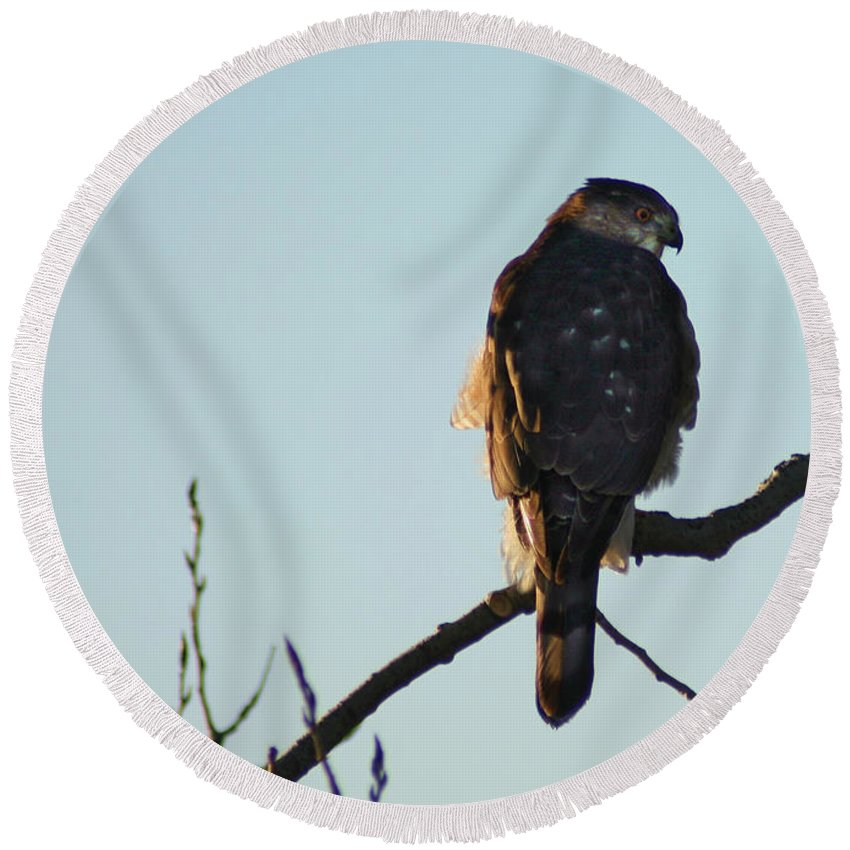 Hawk Round Beach Towel featuring the photograph Cooper's Hawk by Steve Karol