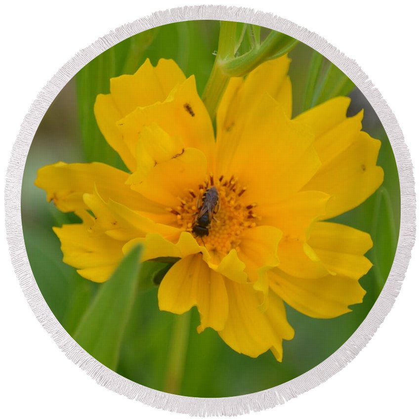 Coreophis Honey Bee Round Beach Towel featuring the photograph Coreopis Honey Bee by Maria Urso