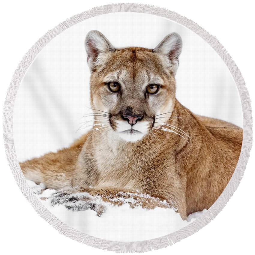 Cougar On White Round Beach Towel featuring the photograph Cougar On White by Wes and Dotty Weber