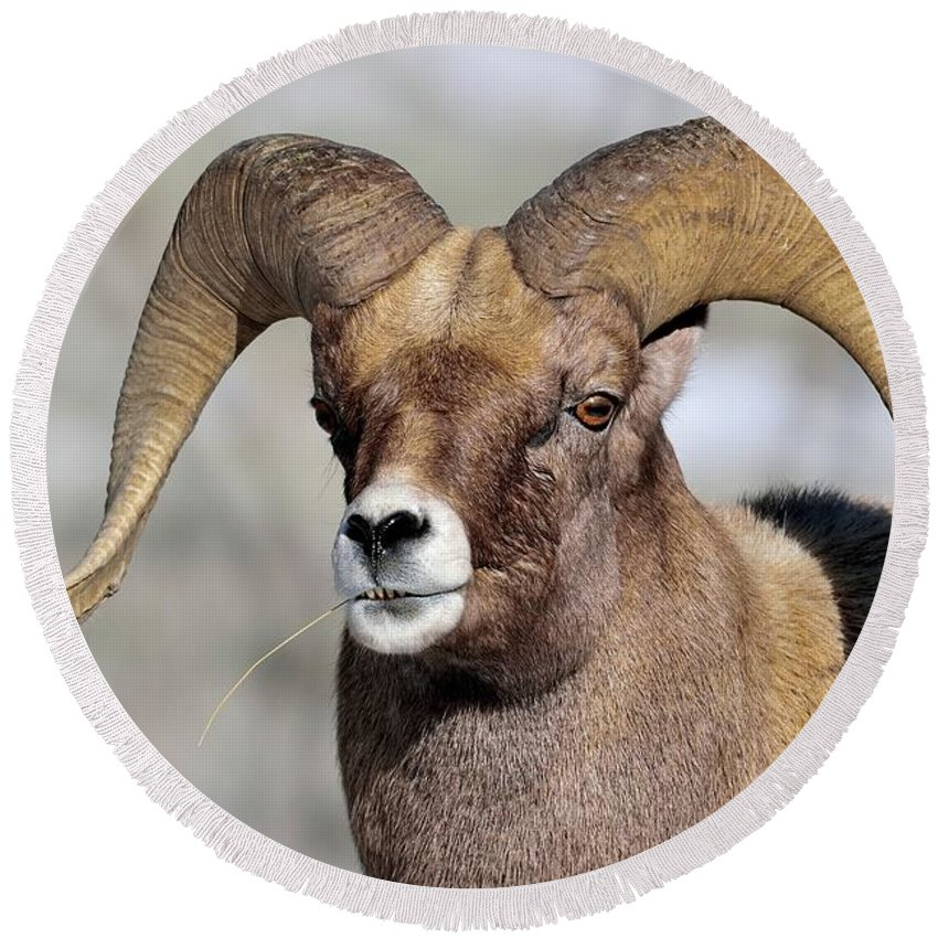 Nature Round Beach Towel featuring the photograph Country Boy Ram by Michael Morse