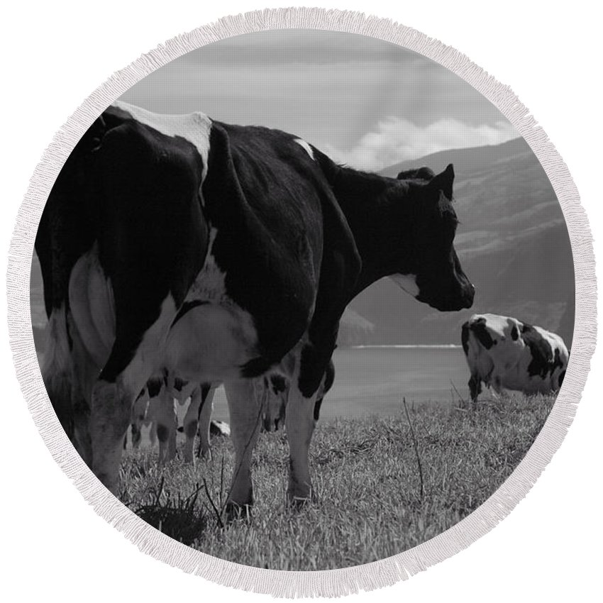 Azoren Round Beach Towel featuring the photograph Cows by Gaspar Avila