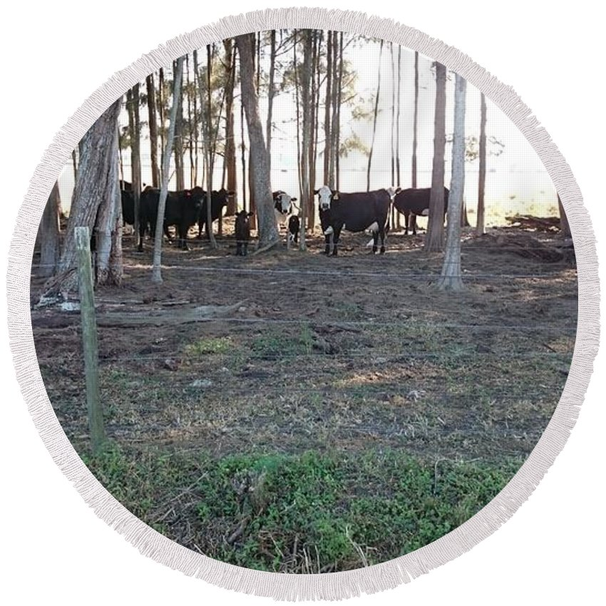Cows In The Clewiston Woods Florida Round Beach Towel featuring the photograph Cows In The Woods by Daniel Diaz
