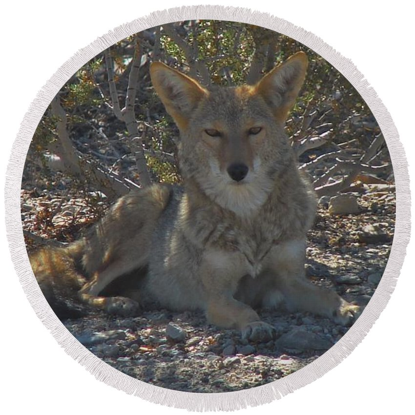 Coyote Round Beach Towel featuring the photograph Coyote 2 by Carl Moore