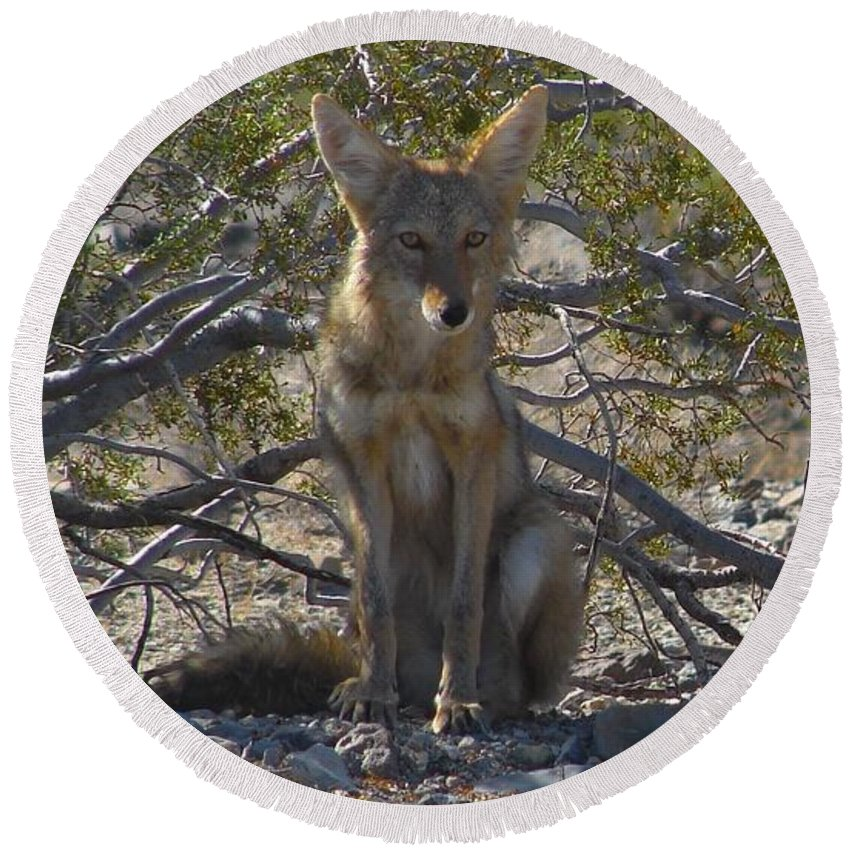 Coyote Round Beach Towel featuring the photograph Coyote 3 by Carl Moore