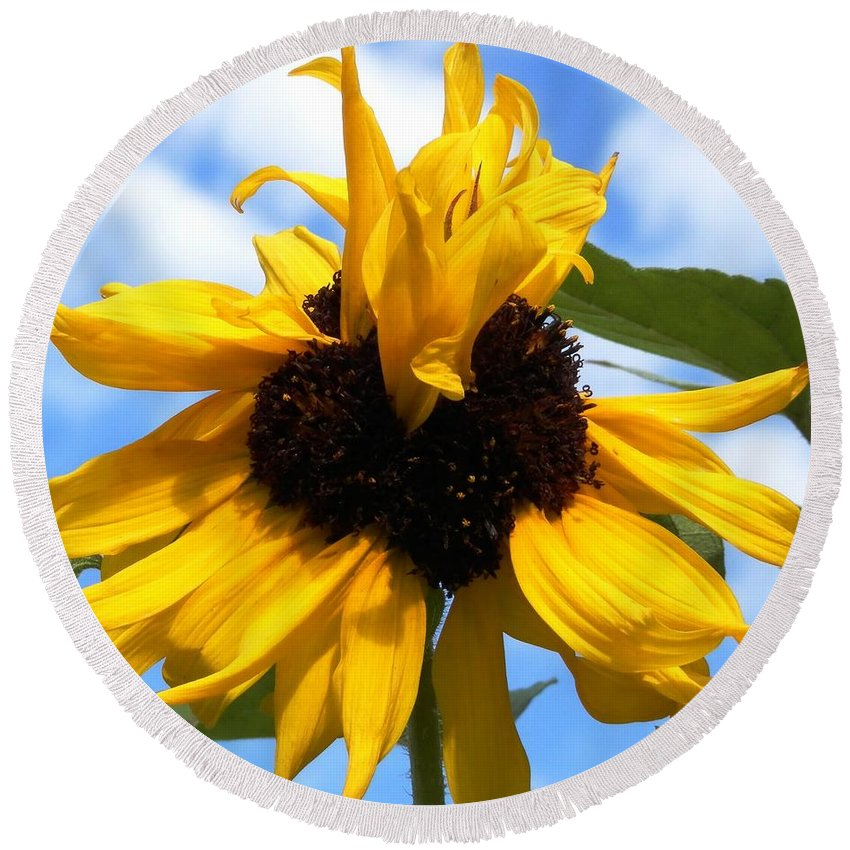 Looks Like A Genetic Hair Problem For This Bright Yellow Sunflower With A Brown Eye. Climbing Way Up High To The Blue Round Beach Towel featuring the photograph Crazy Sunflower Look by Belinda Lee