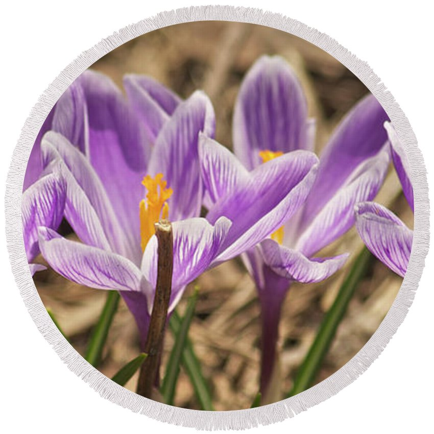 Crocus Round Beach Towel featuring the photograph Crocuses 2 by Michael Peychich