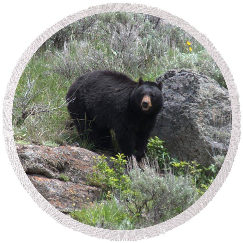 Black Bear Round Beach Towel featuring the photograph Curious Black Bear by Frank Madia
