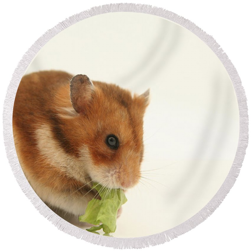 Hamster Round Beach Towel featuring the photograph Curious Hamster by Yedidya yos mizrachi