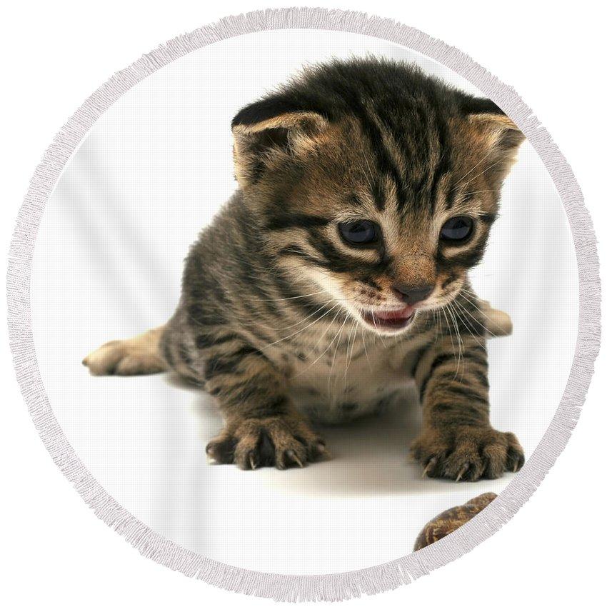 Cat Round Beach Towel featuring the photograph Curious Kitten by Yedidya yos mizrachi