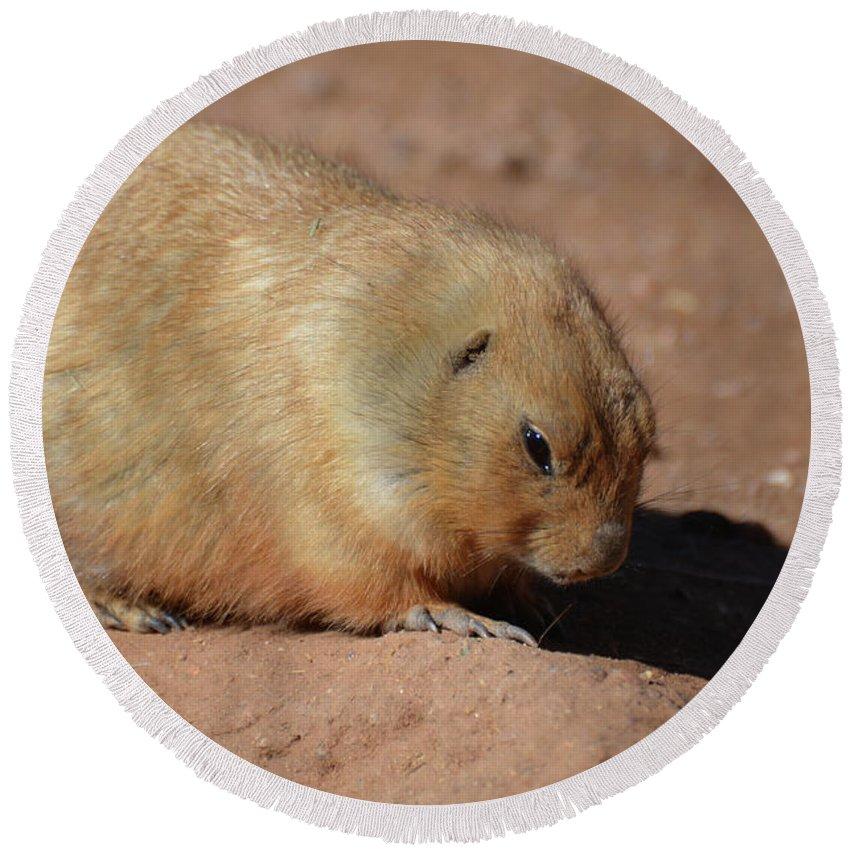 Prairie-dog Round Beach Towel featuring the photograph Cute Ground Squirrel Burrowing In The Dirt by DejaVu Designs