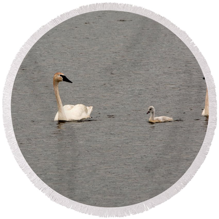 Swan Round Beach Towel featuring the photograph Cygnet Swim by Linda Kerkau