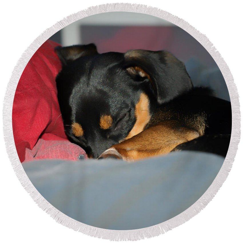 Dachshund Dog Round Beach Towel featuring the photograph Dachshund Dog, Pug Dog, Good Time On Bed, Sleeping by Jean-Yves Salou