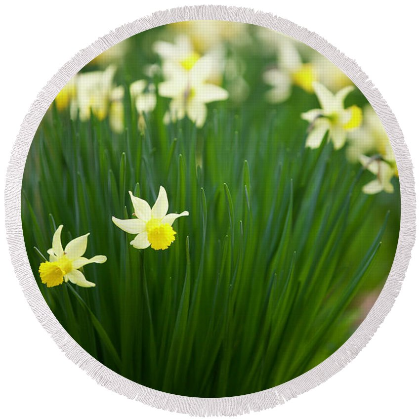 Daffodil Round Beach Towel featuring the photograph Daffodils In A Bunch by Rachel Morrison