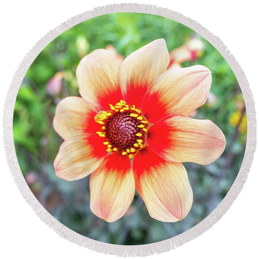 Background Round Beach Towel featuring the photograph Dahlia by Big Joe