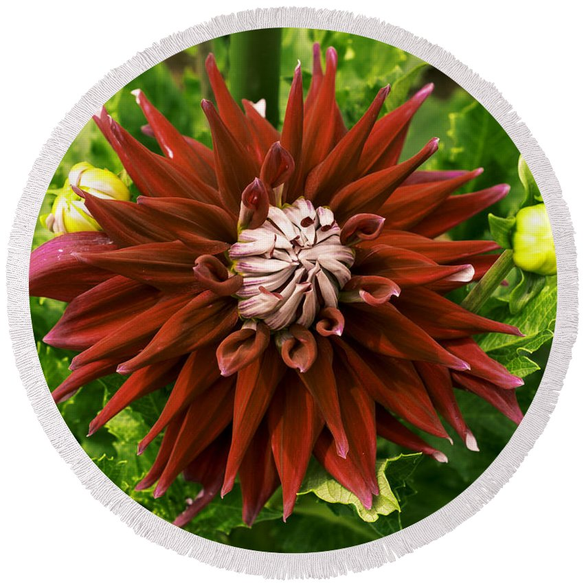 Connecticut Round Beach Towel featuring the photograph Dahlia In Bloom 18 by Joe Geraci
