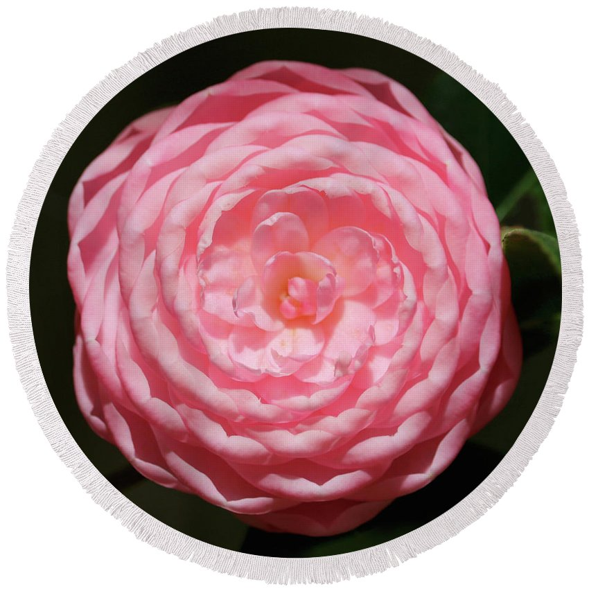 Camellia Round Beach Towel featuring the photograph Dainty Pink Camellia by Carol Groenen