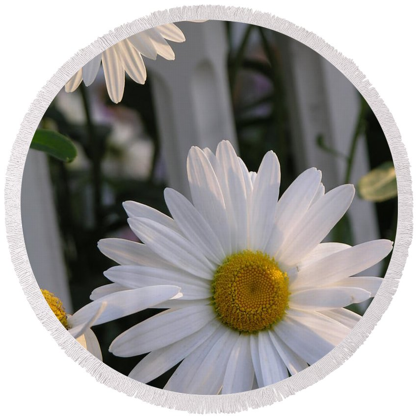 Daisy Round Beach Towel featuring the photograph Daisy by Diane Greco-Lesser