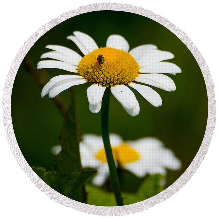 Daisy Round Beach Towel featuring the photograph Daisy by Jan M Holden