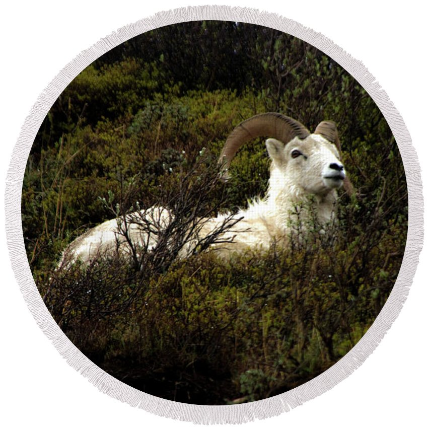 Curled Horns Round Beach Towel featuring the photograph Dall Sheep Ram by Sharon Goldsboro