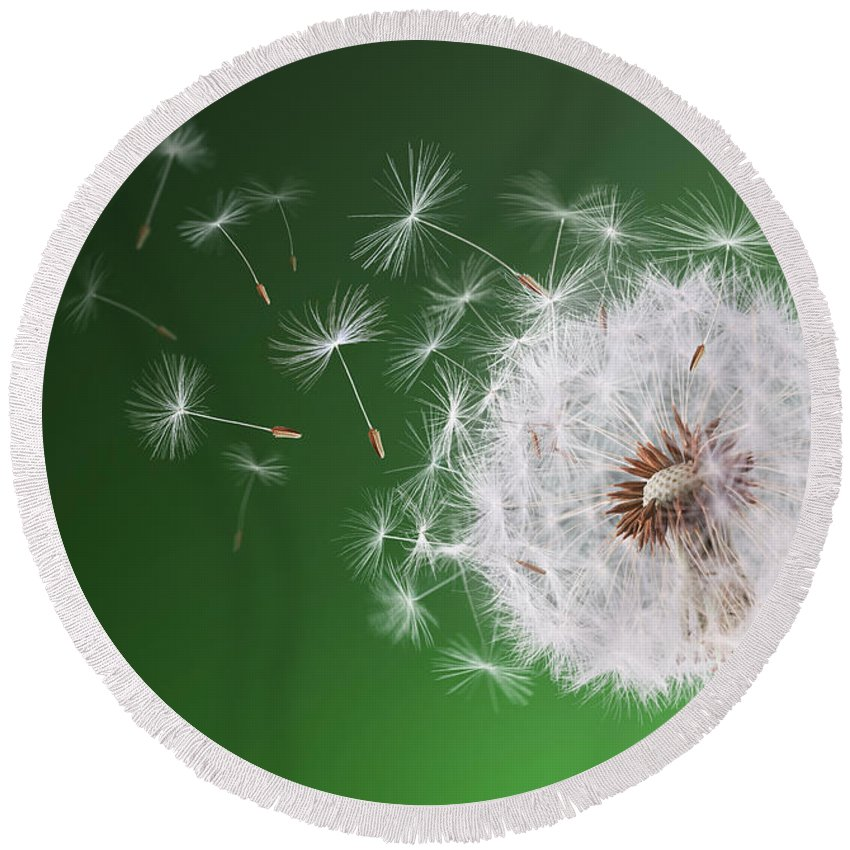 Abstract Round Beach Towel featuring the photograph Dandelion Flying On Background Green by Bess Hamiti