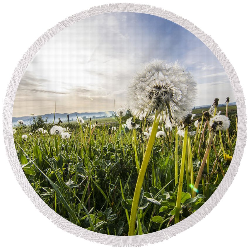 Dandelions Dandelion Sunny Sun Spring Morning Grass Pacific Northwest Outdoors Explore View Views Quest Live Authentic Outbound Wilderness Round Beach Towel featuring the photograph Dandelions by Pelo Blanco Photo