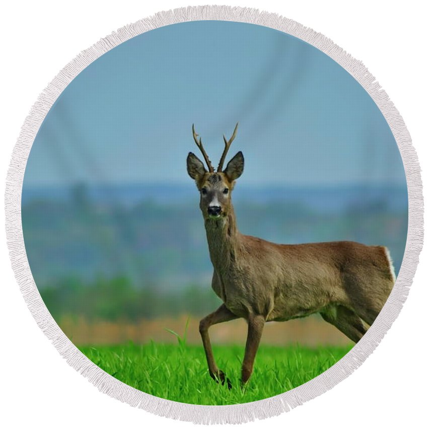 Round Beach Towel featuring the photograph Deer On The Field by Lucian Fasola-Matasaru
