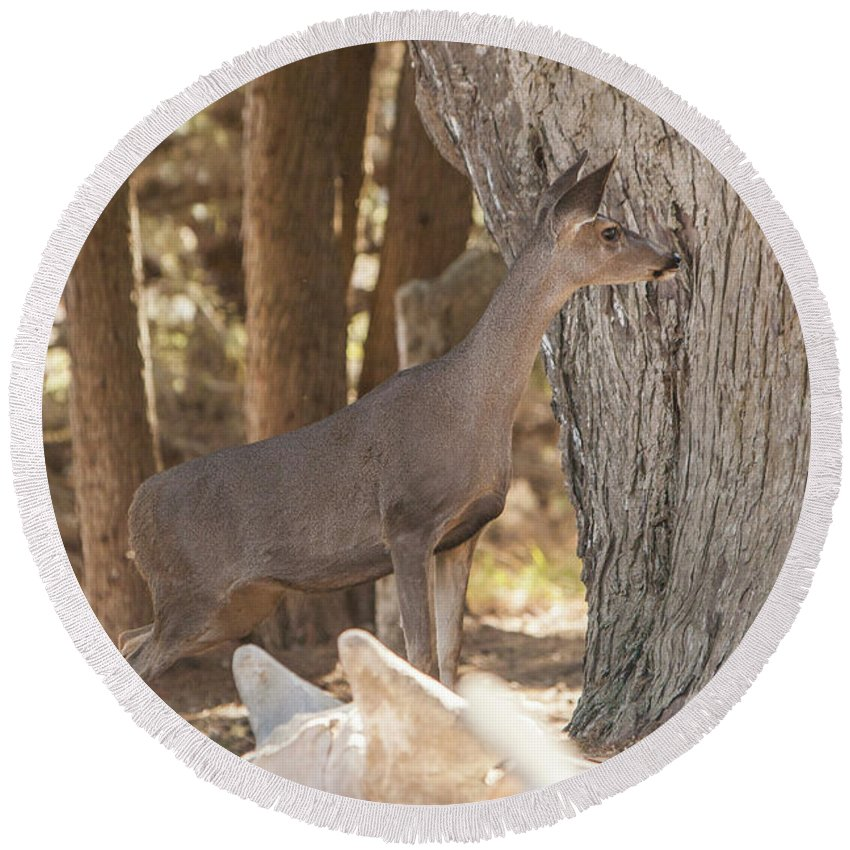 Deer Round Beach Towel featuring the photograph Deer On The Look Out by Jason Hughes
