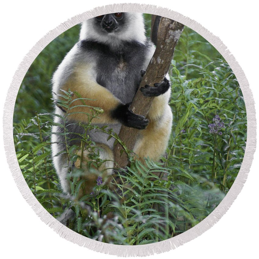 Madagascar Round Beach Towel featuring the photograph Diademed Sifaka by Michele Burgess