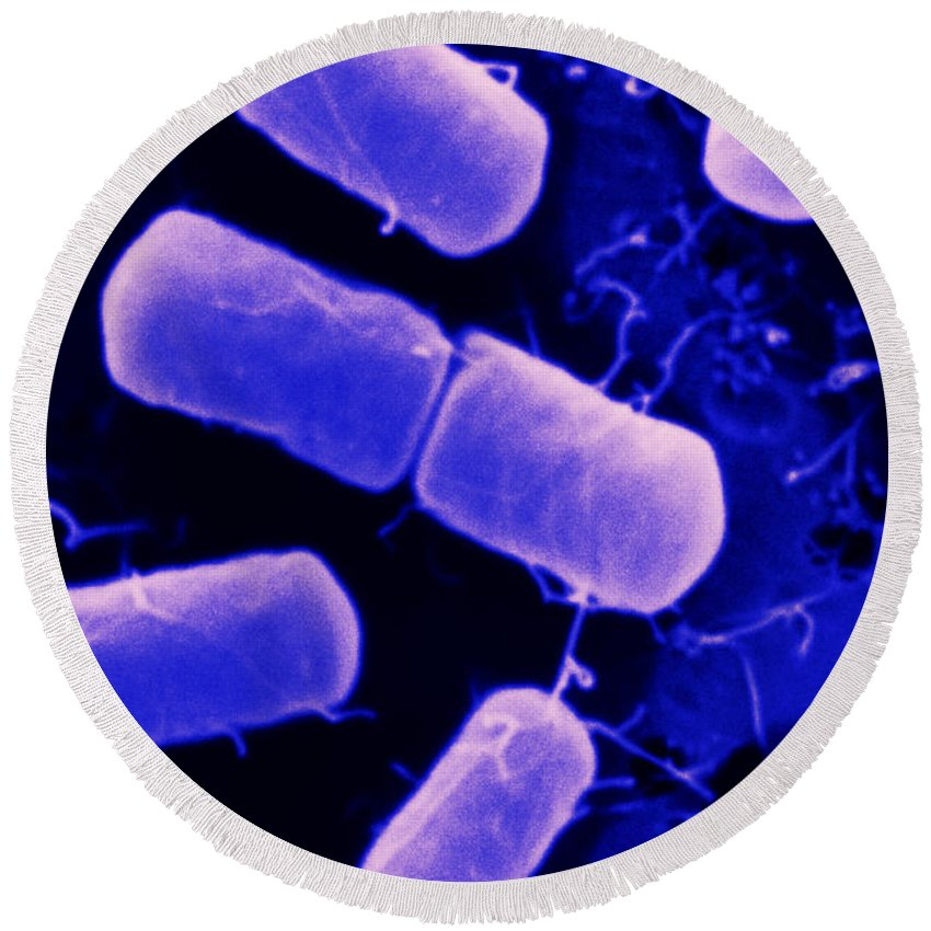 Bacteria Round Beach Towel featuring the photograph Dividing Bacteria by Scimat
