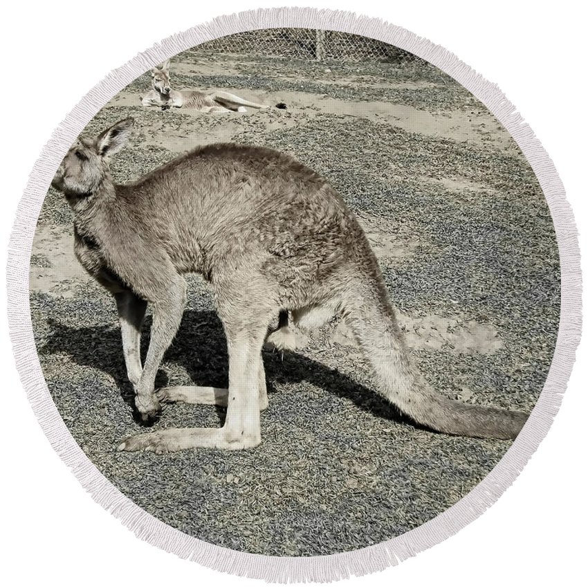 Kangaroo Round Beach Towel featuring the photograph Dopey by Douglas Barnard