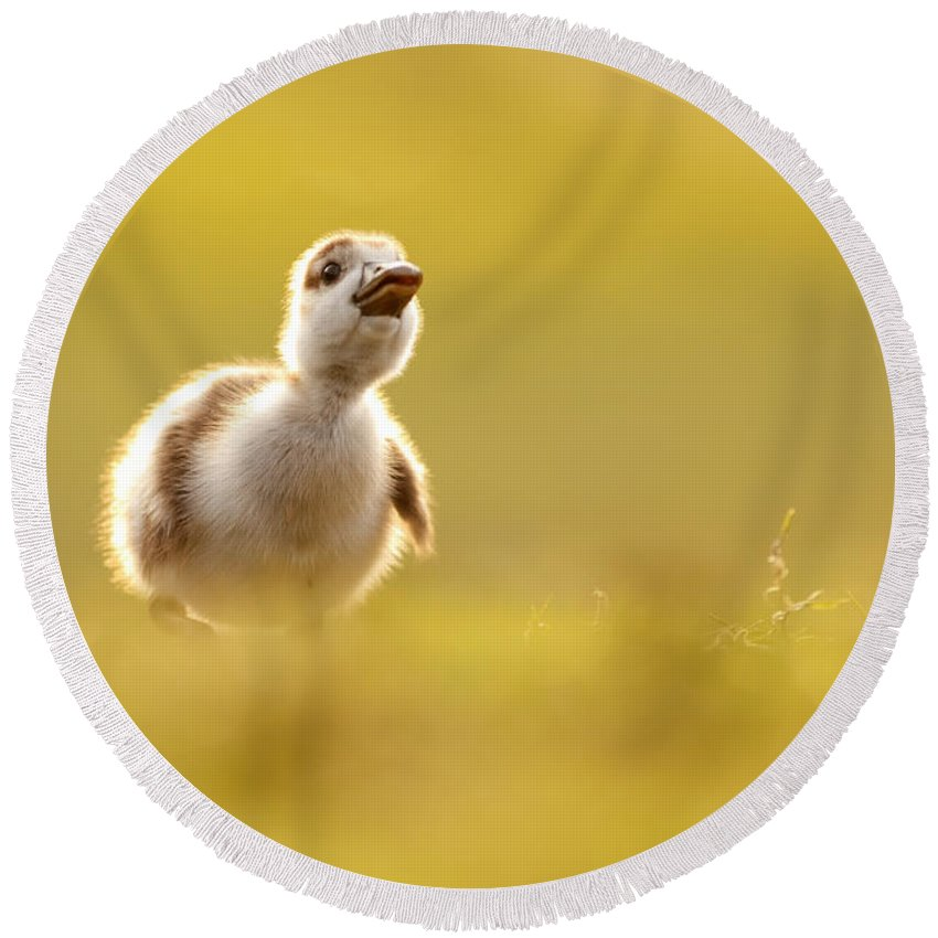 Egyptian Goose Round Beach Towels