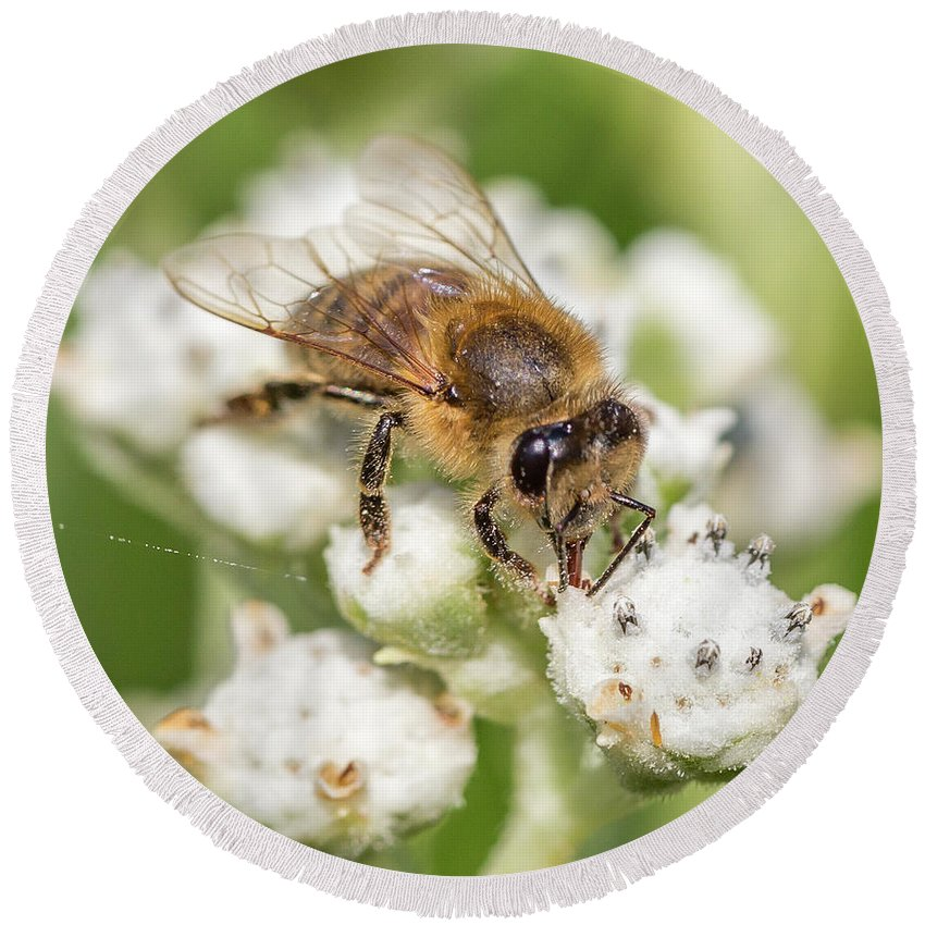 Honey Bee Round Beach Towel featuring the photograph Drinking Up The Nectar, Apis Mellifera by Christy Cox